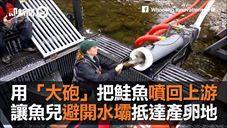 鮭魚大炮~用大炮把鮭魚送回上游