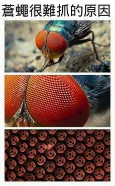 蒼蠅很難抓的原因