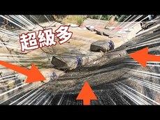 捕捉樹洞裡大量的綠鬣蜥