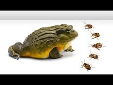 非洲牛蛙對決放屁蟲